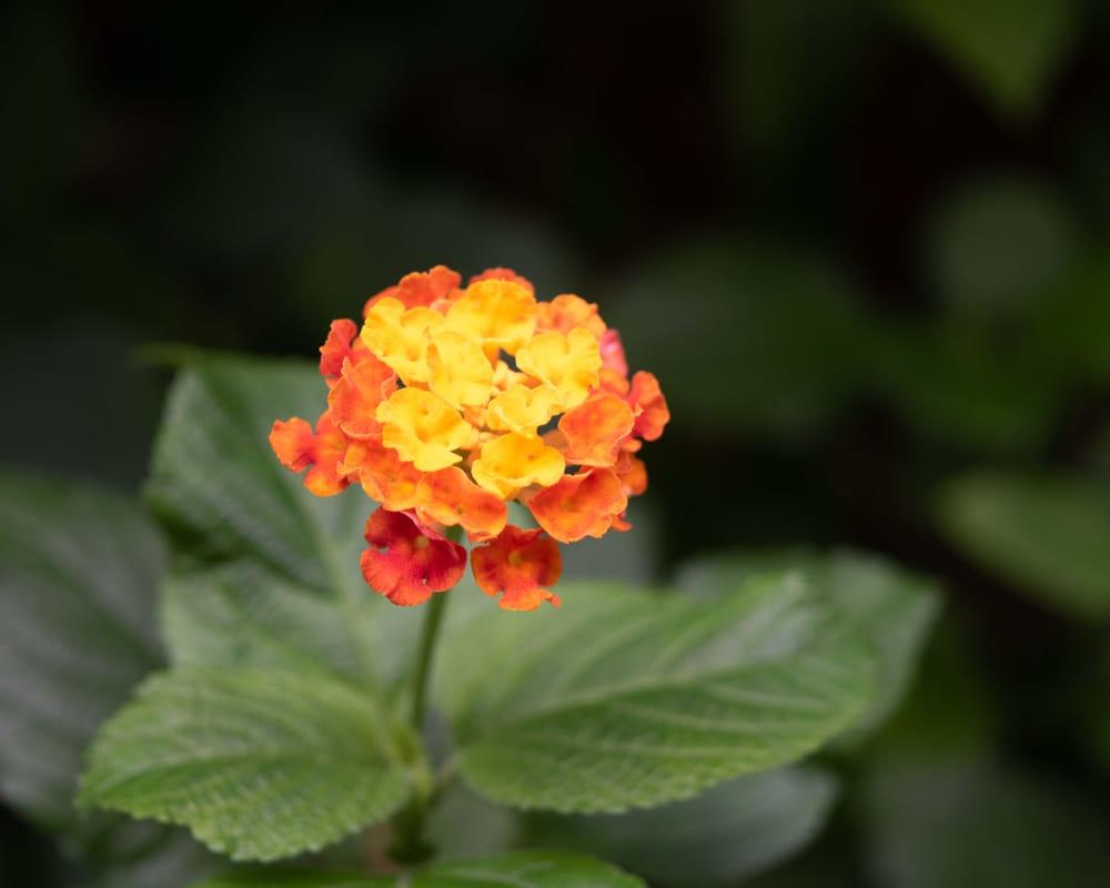Lantana camara Flower - image 3 - student project