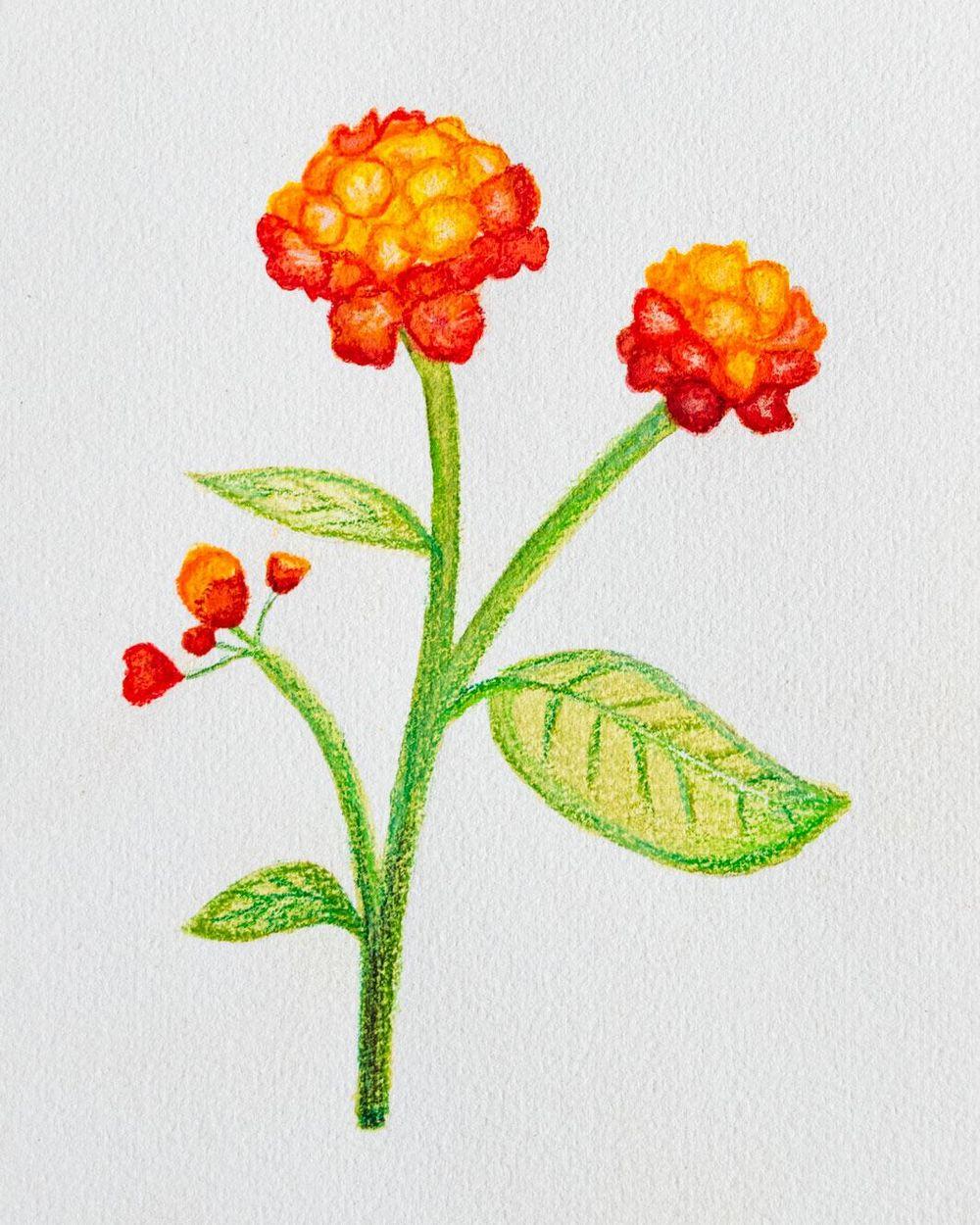 Lantana camara Flower - image 1 - student project