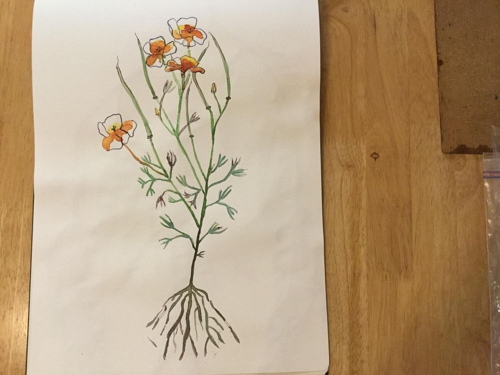 California Poppy - image 1 - student project