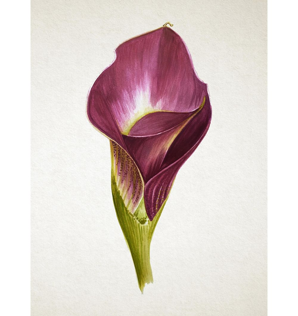 Watercolor Calla Lily - image 3 - student project