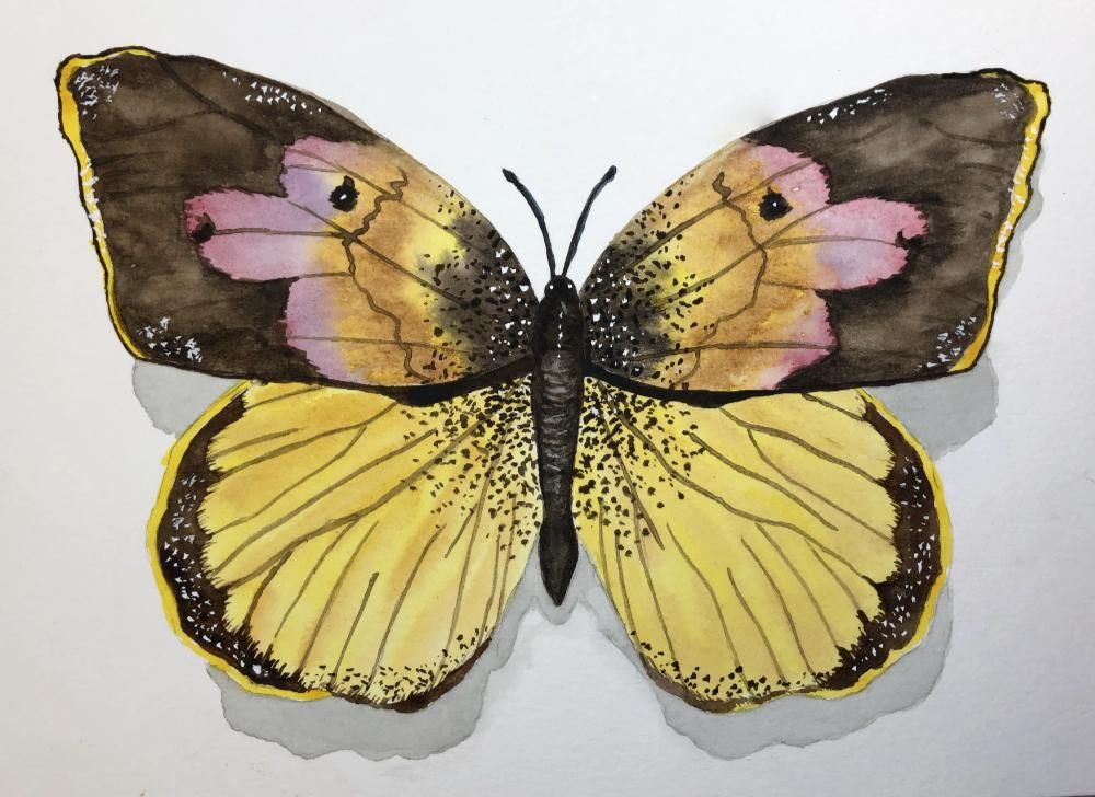 Dogface Butterfly - image 1 - student project
