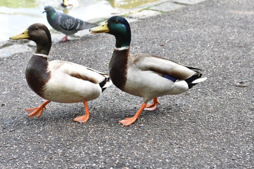 Ducks - image 4 - student project