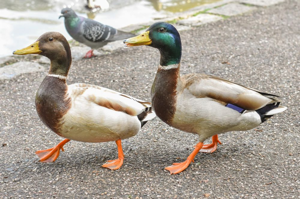 Ducks - image 5 - student project