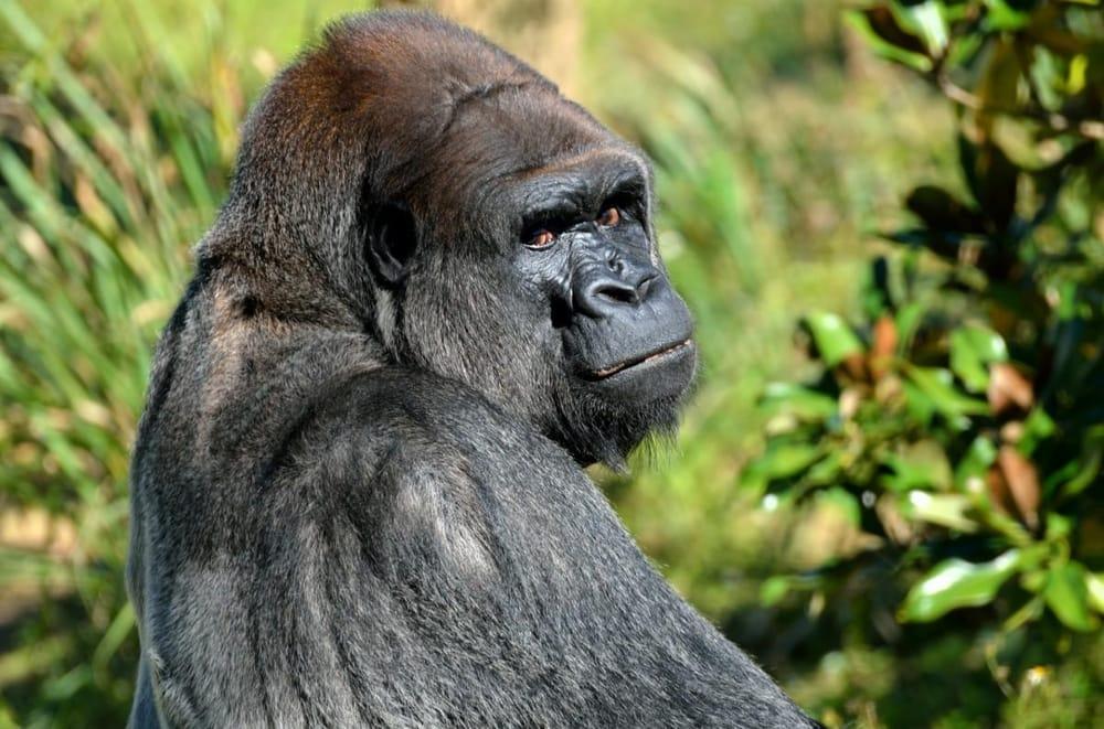 Gorilla - image 1 - student project
