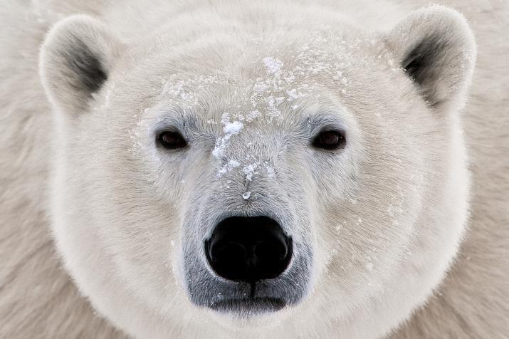 Polar Bear Illustration (I Wish It Was My Pet!) - image 1 - student project
