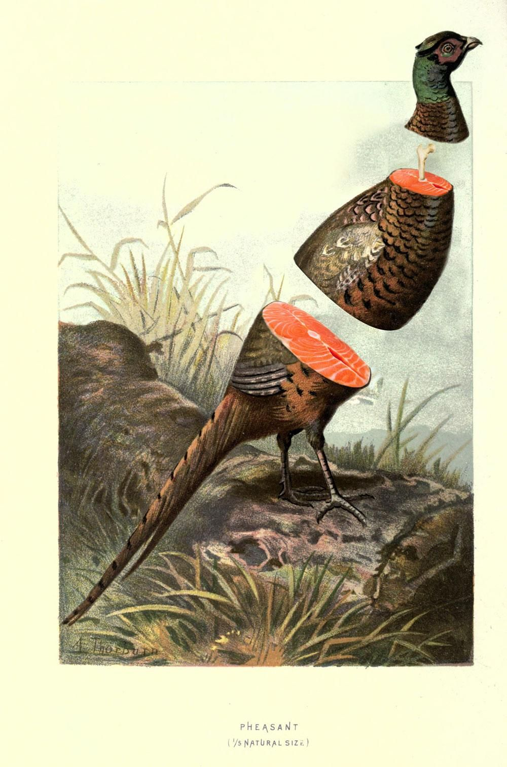 Pheasant - image 1 - student project