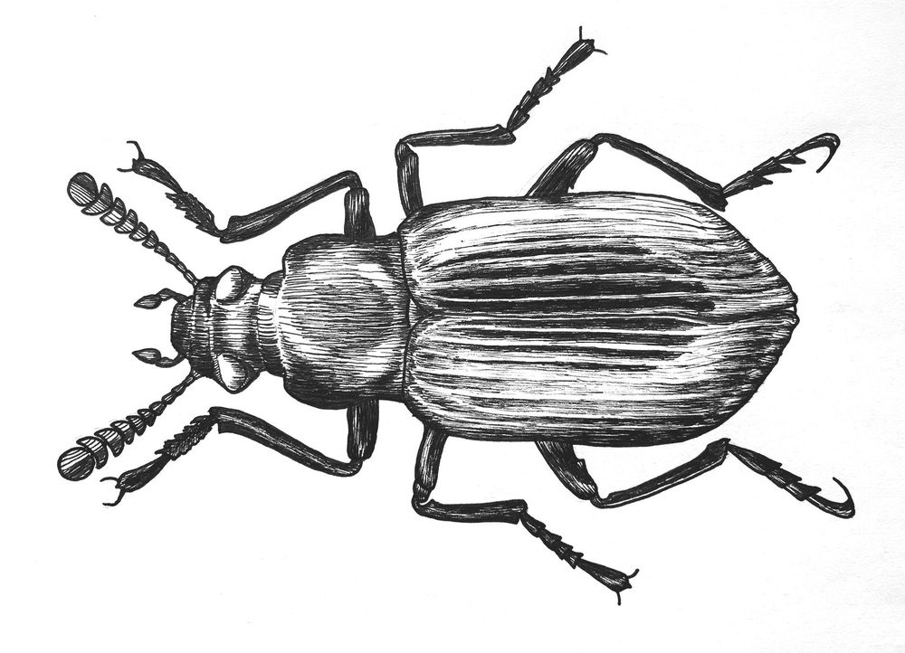 Pen & Ink Beetle - image 1 - student project