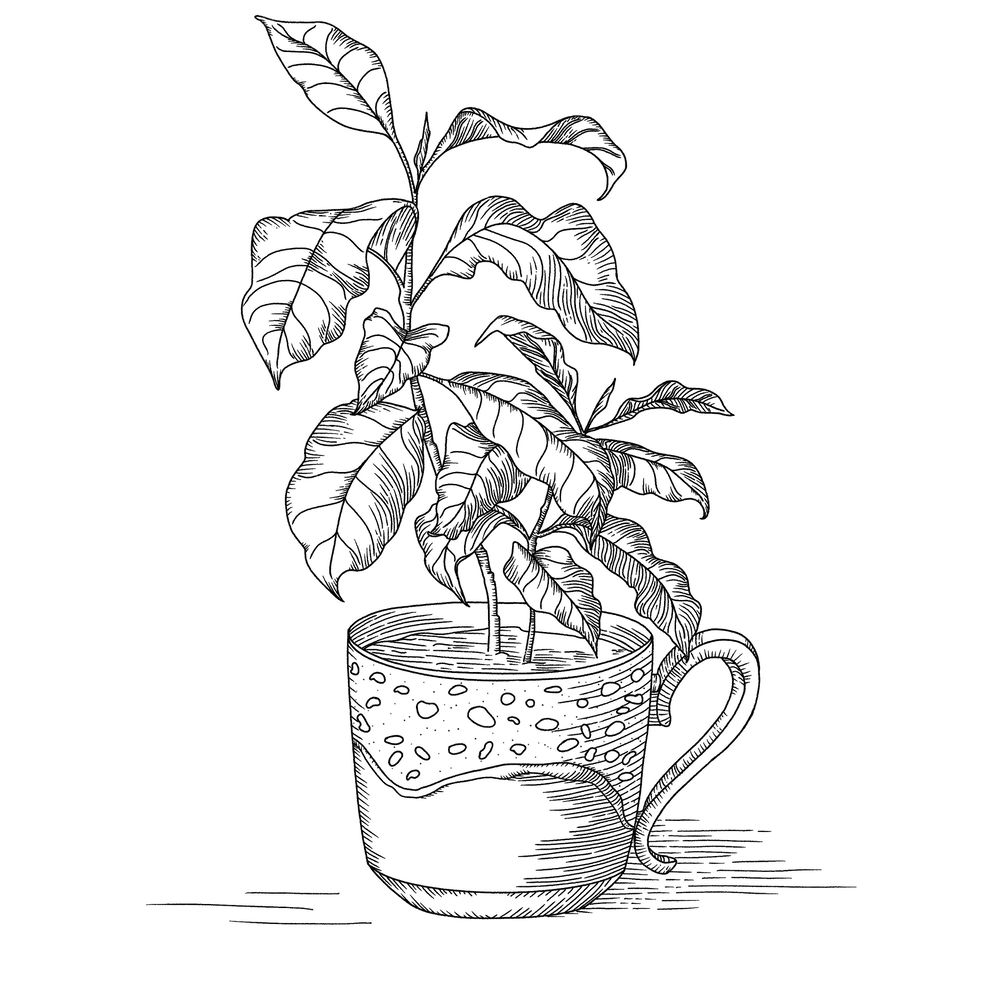 Coffee plant - image 2 - student project
