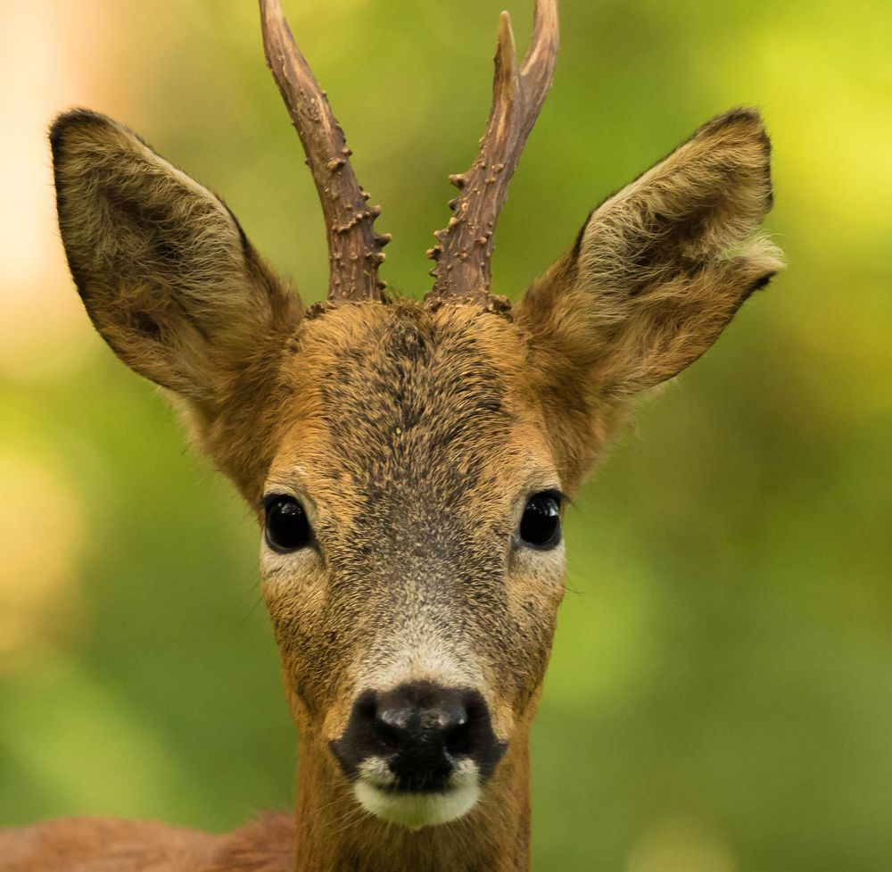 Roe Deer - image 3 - student project