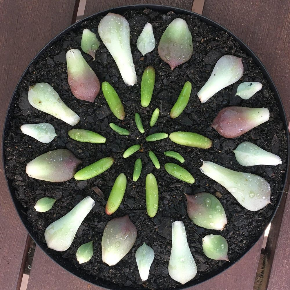 Sample project - growing succulents from leaves - image 2 - student project