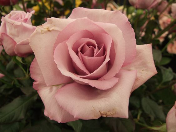 Rose based on the teaching of Louise Demasi - image 1 - student project