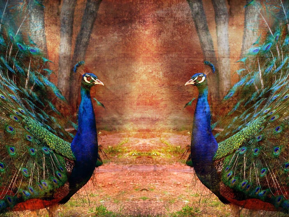 Beautiful Peacocks - image 1 - student project