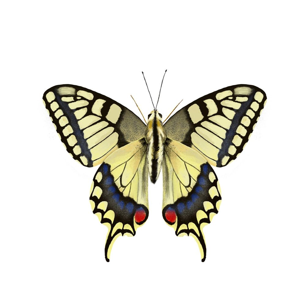 Old World Swallowtail - image 3 - student project