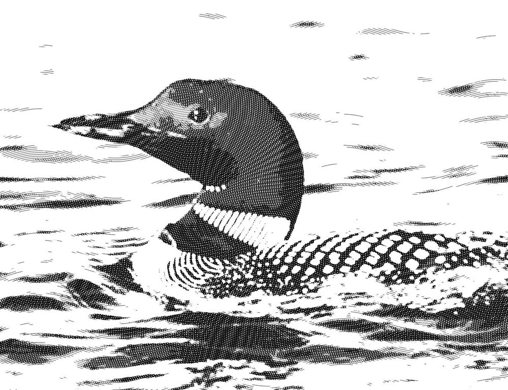 Engraved Clooney, Canadian Goose, and Loon - image 3 - student project