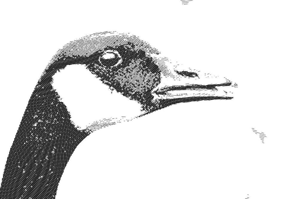 Engraved Clooney, Canadian Goose, and Loon - image 2 - student project
