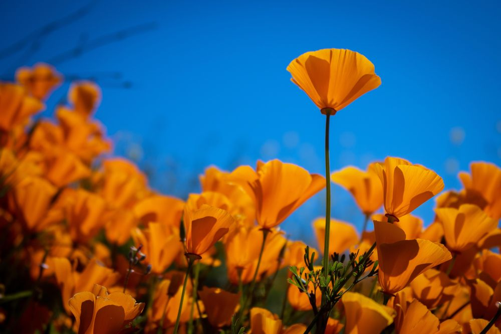 Top Poppy - image 2 - student project
