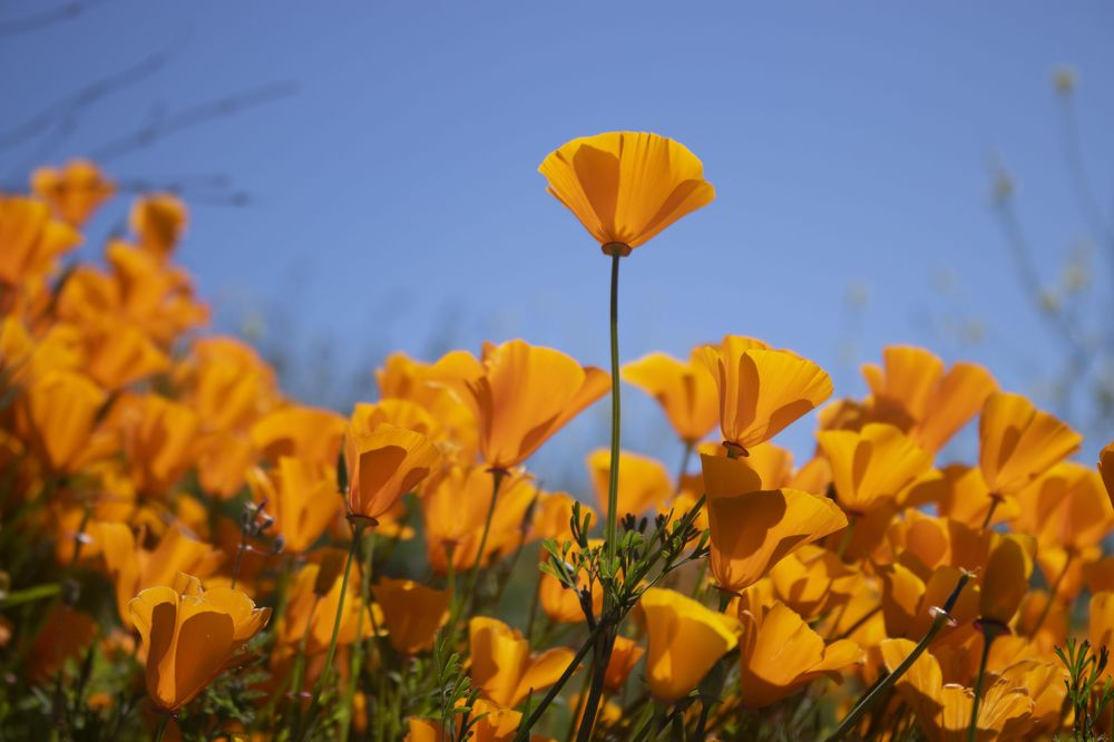 Top Poppy - image 1 - student project
