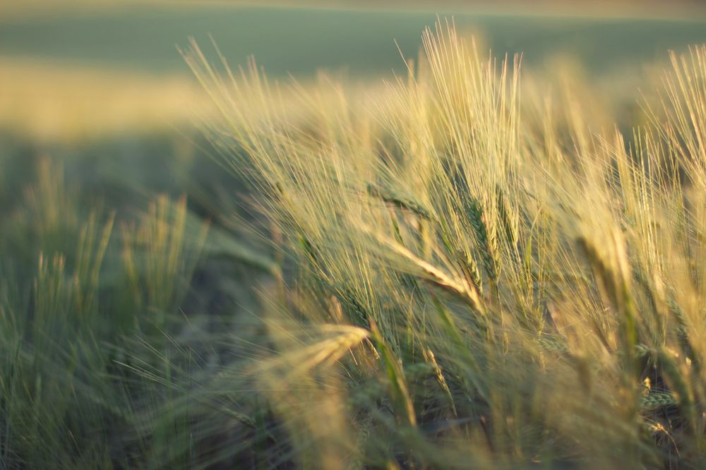 Nature's finest grain - image 2 - student project