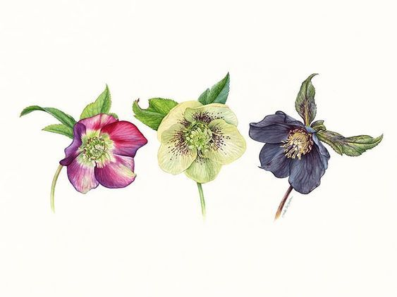 Trio of Hellebores - image 2 - student project
