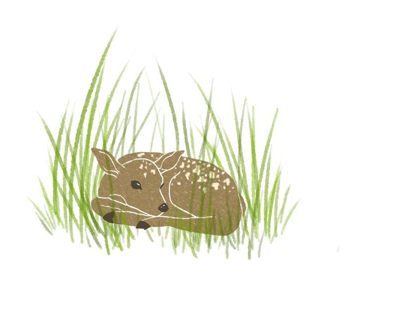 Resting Fawn - image 2 - student project