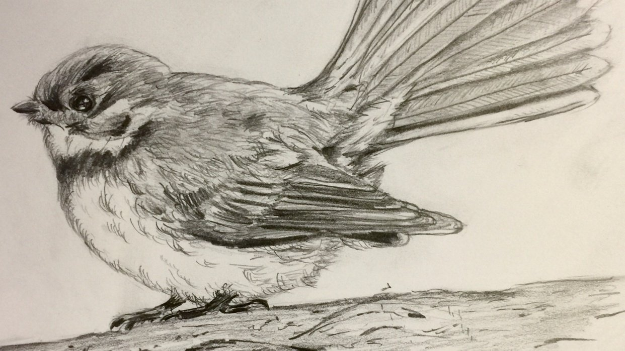 Fantail in Pencil - student project
