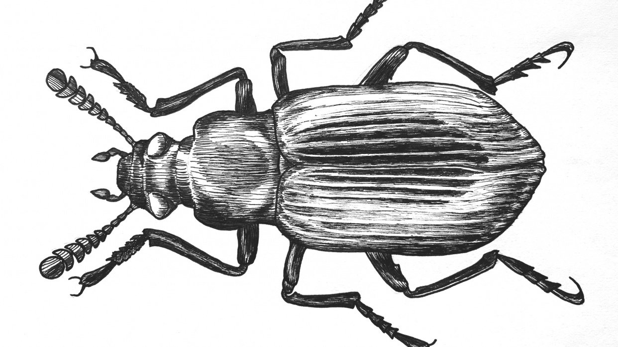 Pen & Ink Beetle - student project