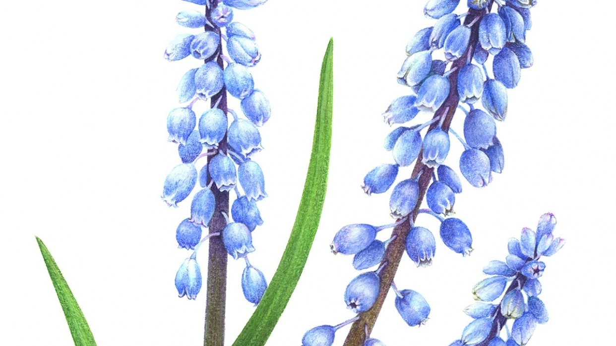 Vintage-Inspired grape-hyacinth - student project