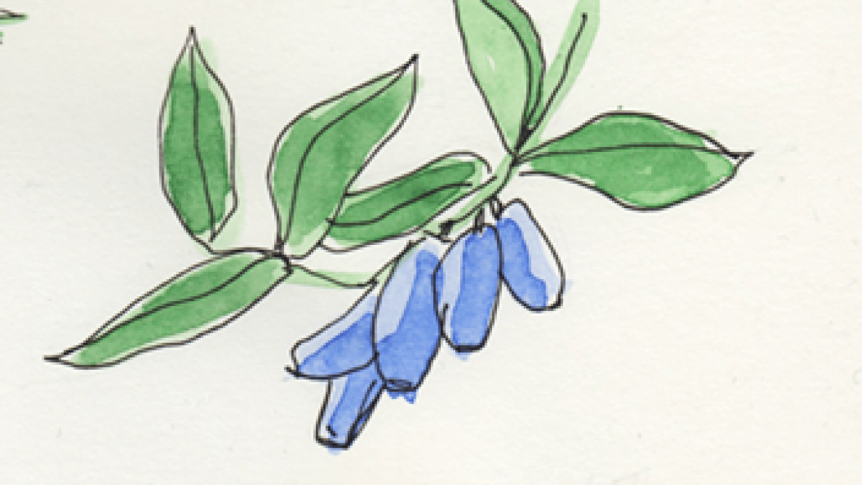 kamchatka berries - student project