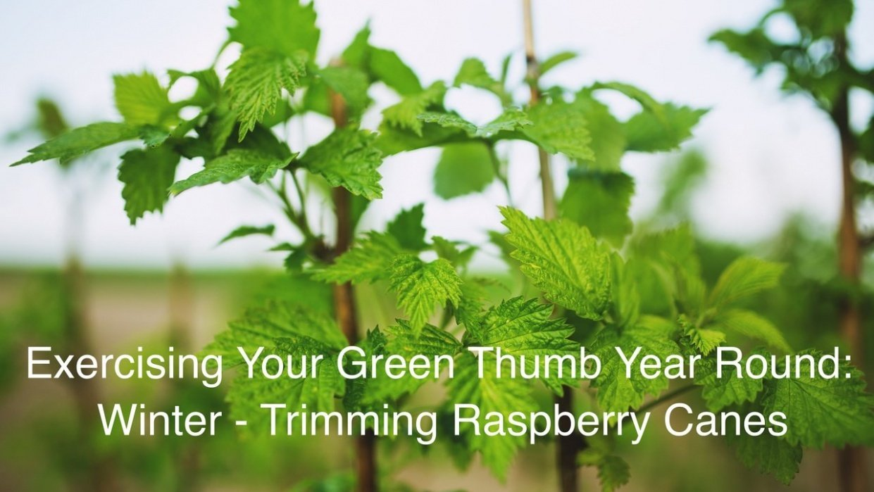 Trimming & Training Raspberry Plants - student project
