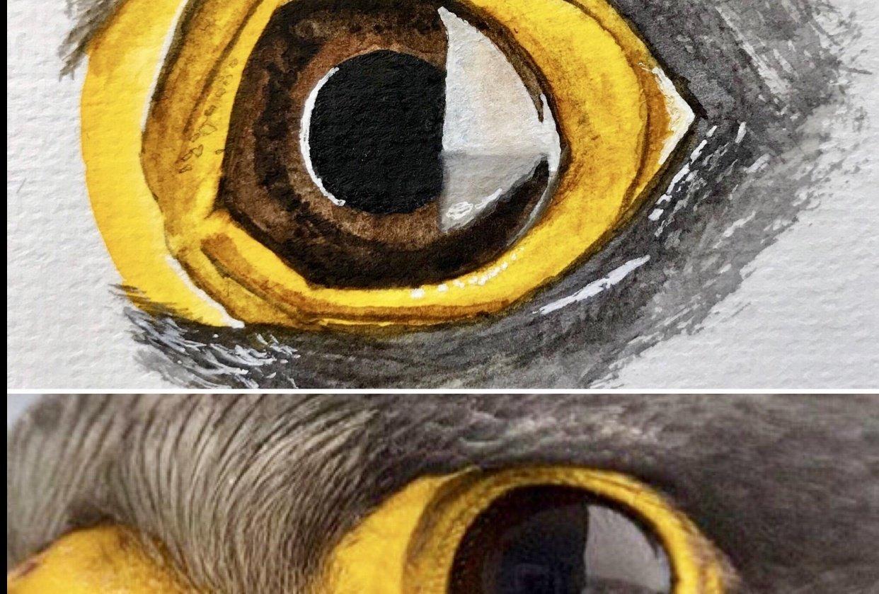 Peregrine Falcon - Eye Study - student project