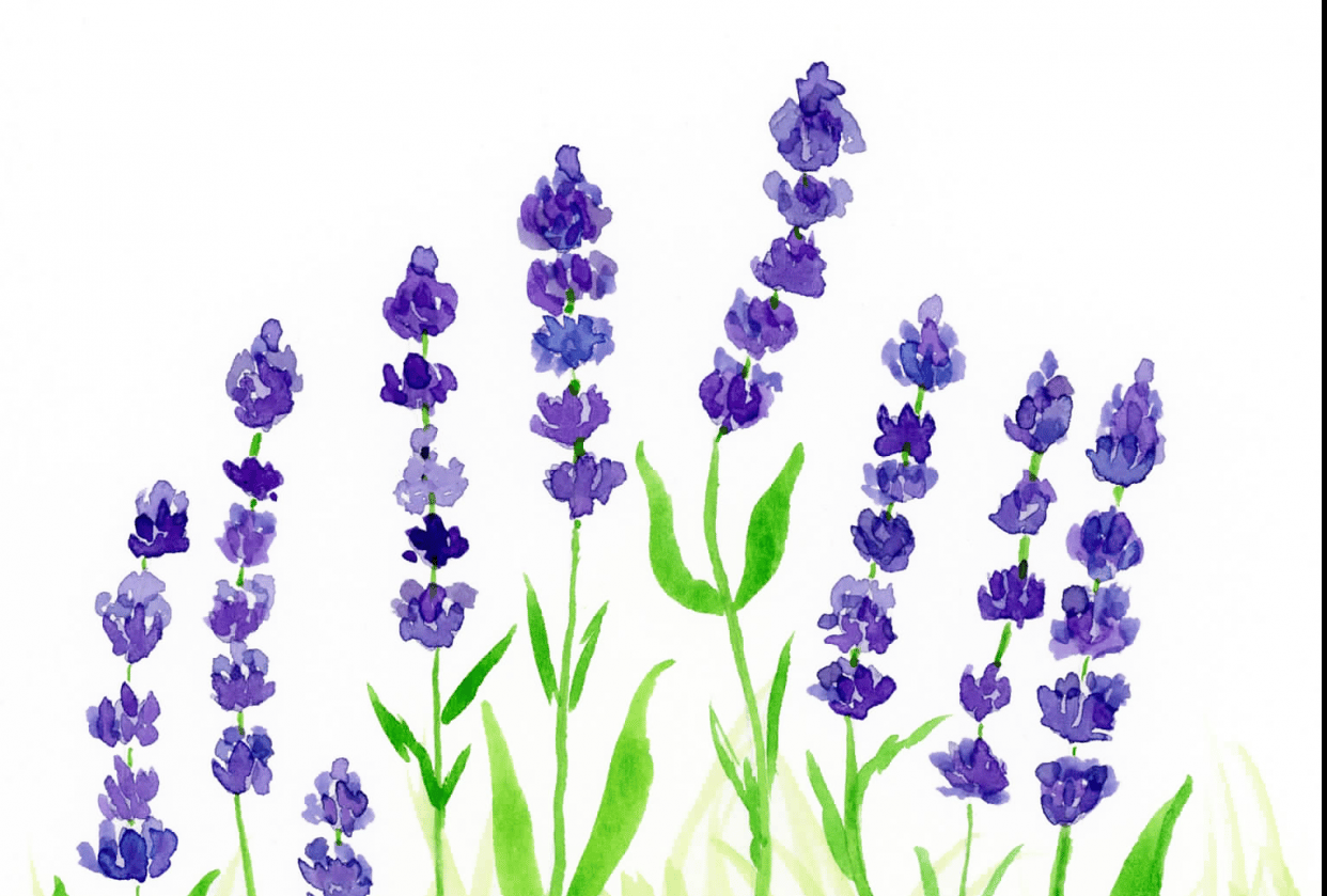 Field Of Lavenders - student project
