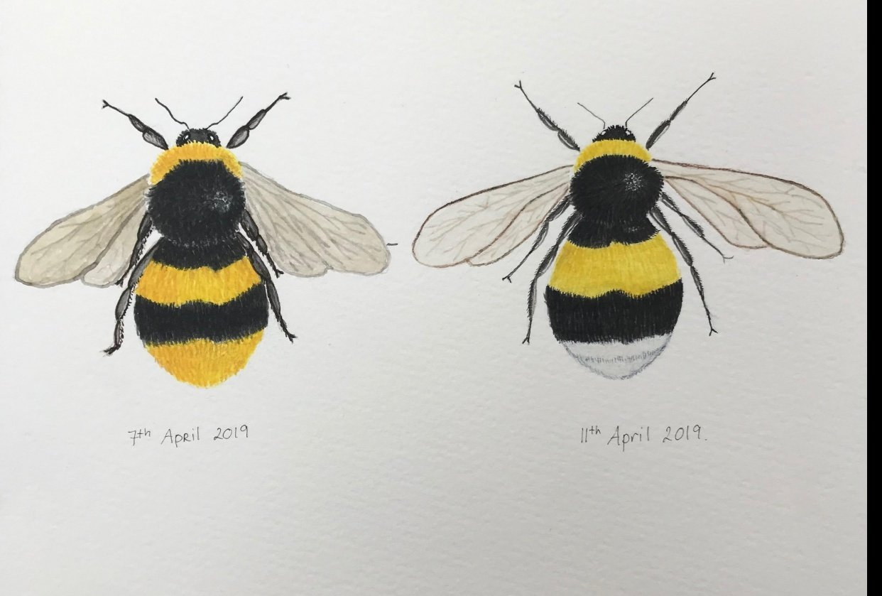Painting Bees in watercolour - student project