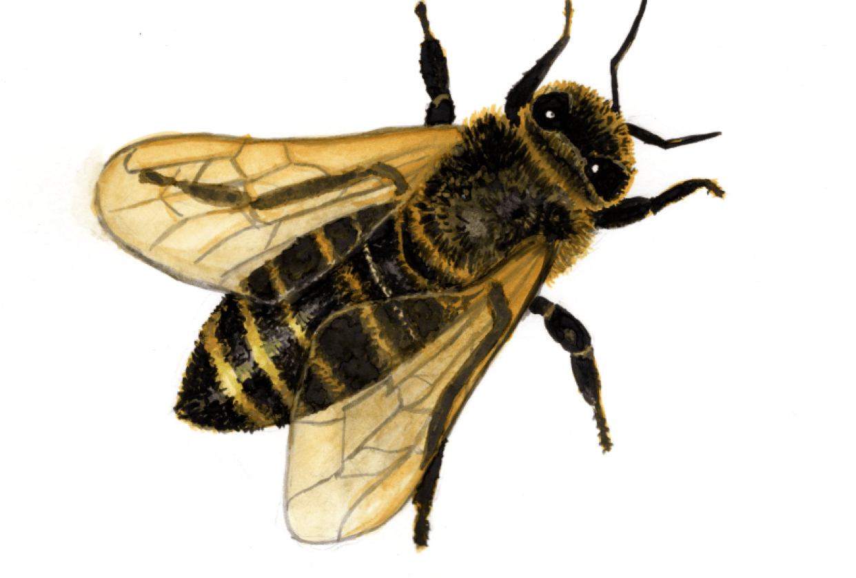 Bee watercolor paint - student project