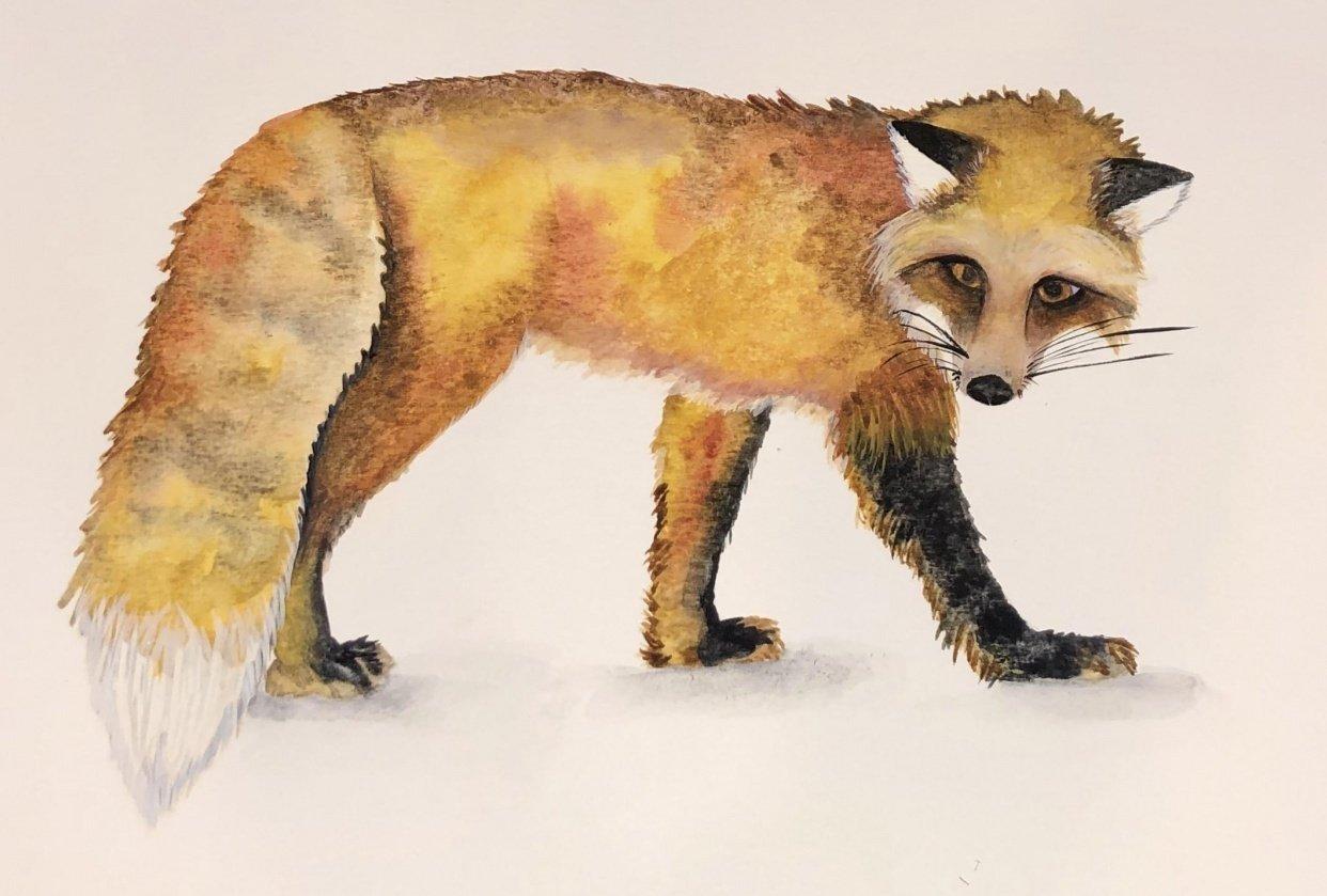 Watercolour Fox - student project