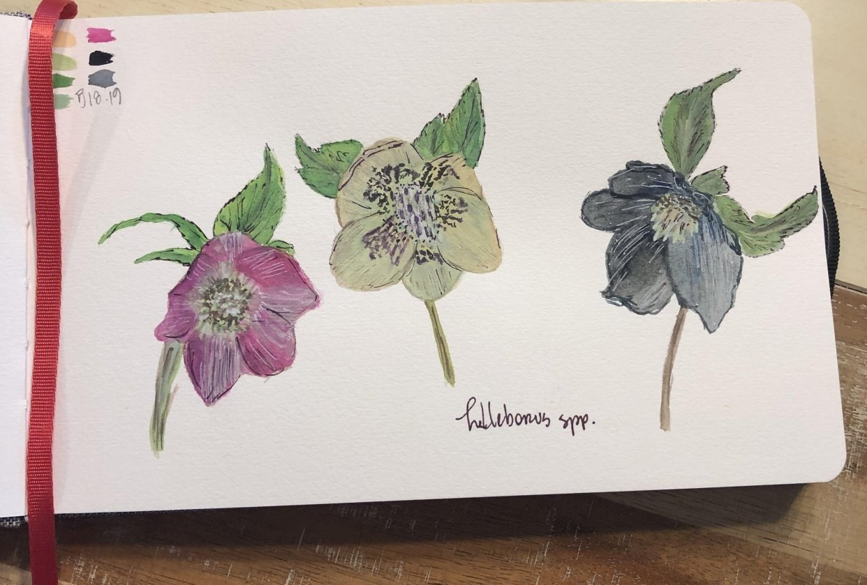 Trio of Hellebores - student project