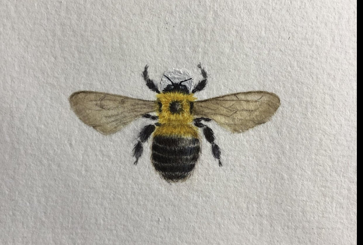 Carpenter bee - student project