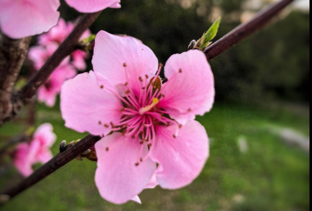Flowering Peach Tree - student project