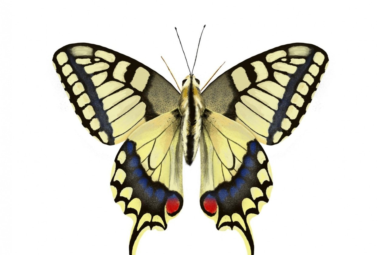 Old World Swallowtail - student project