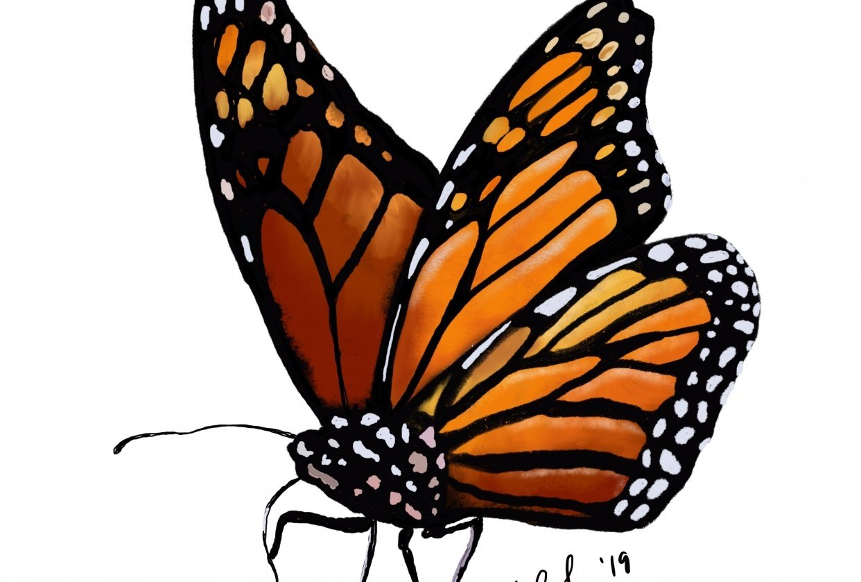Monarch and Blue Morpho Butterflies in ProCreate - student project