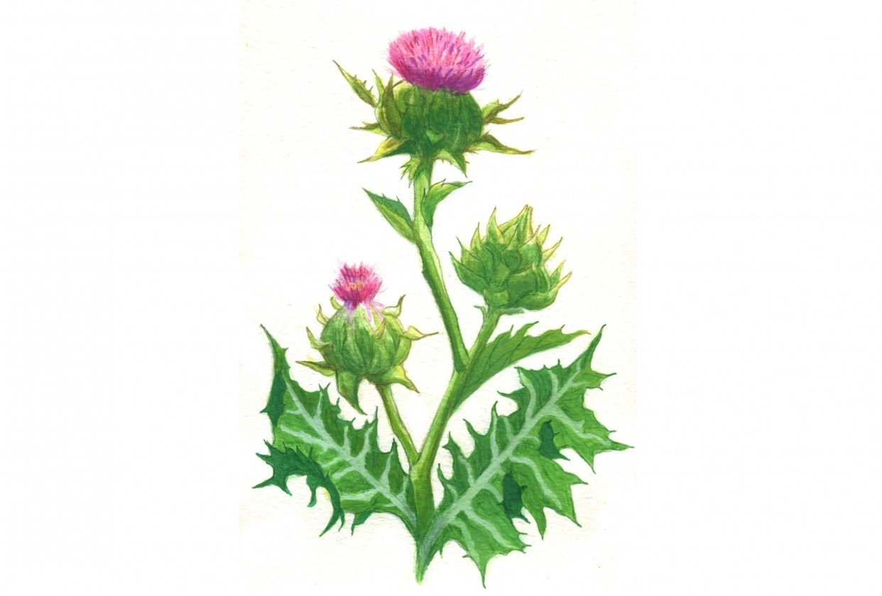 Milk Thistle - student project