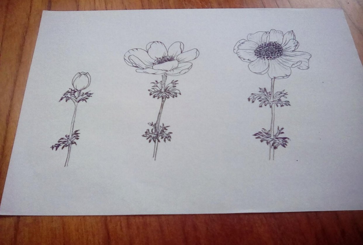 Line drawing anenomes - student project