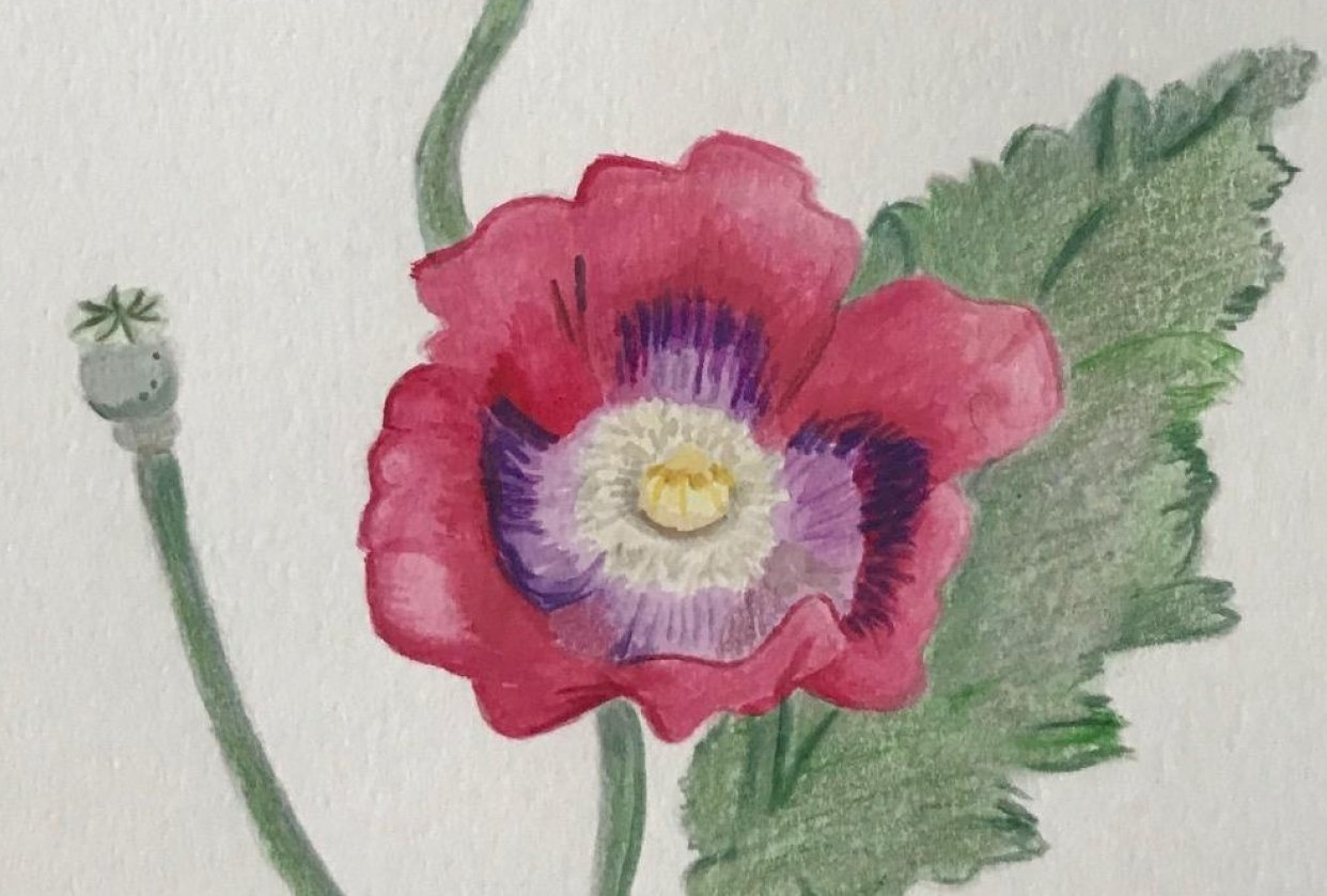 Poppies - student project