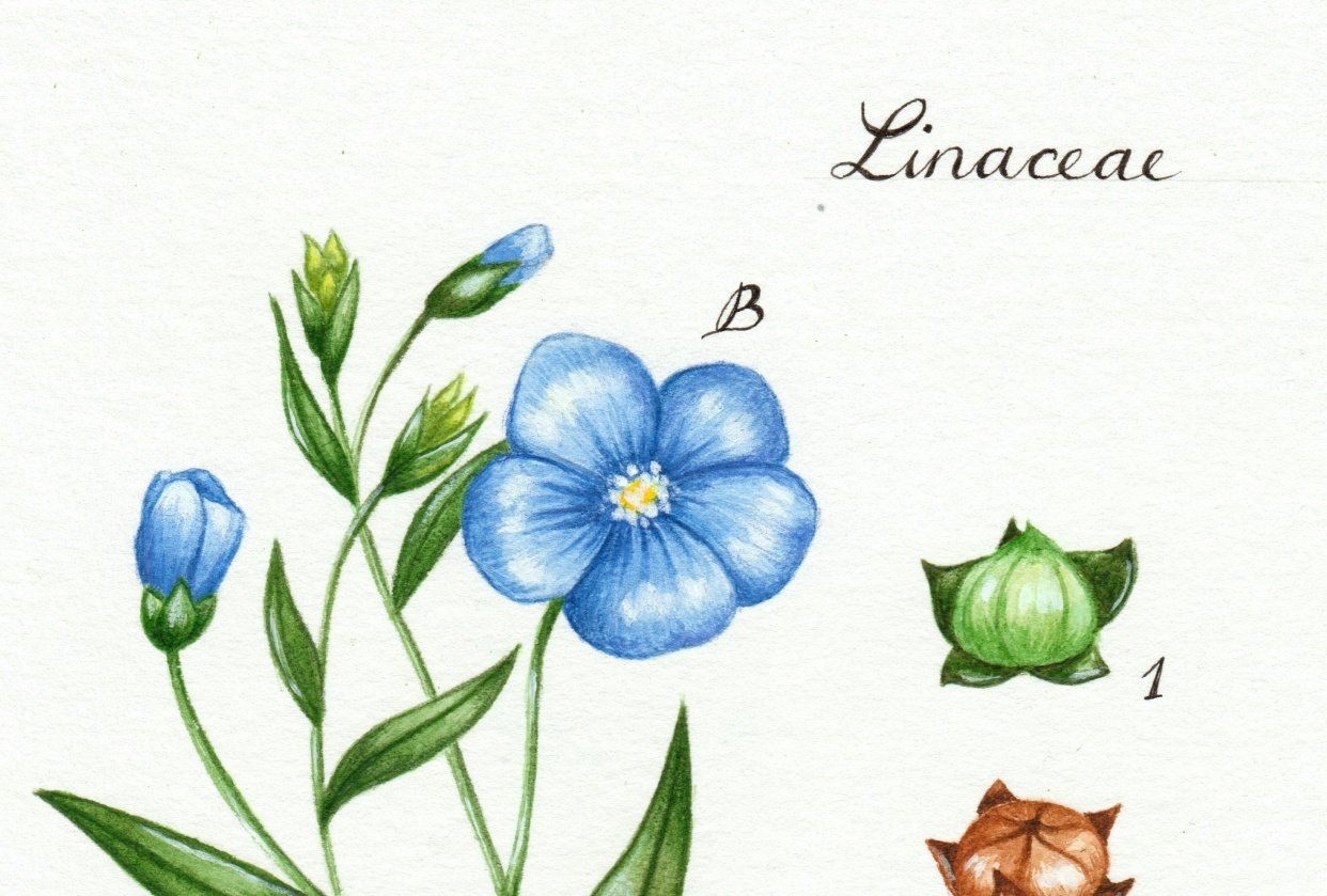 Linseed illustration - student project