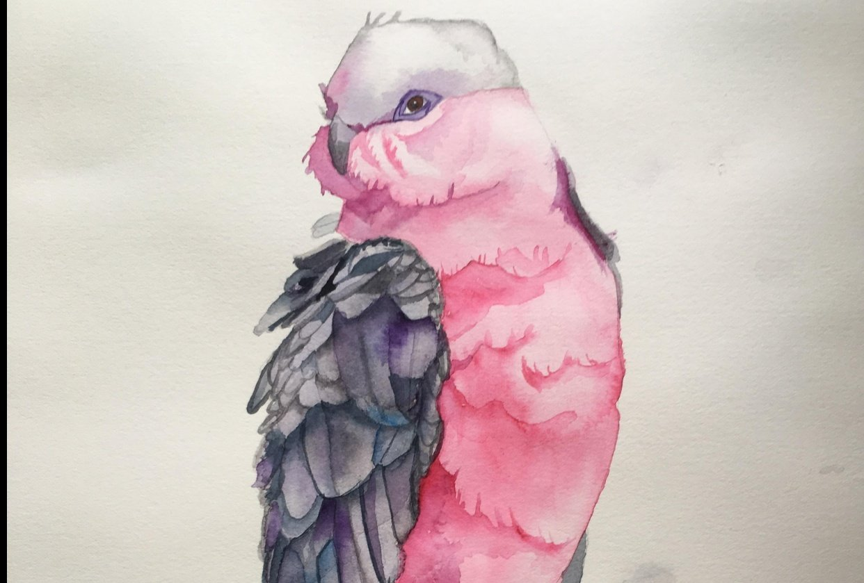 Galah Watercolor - student project