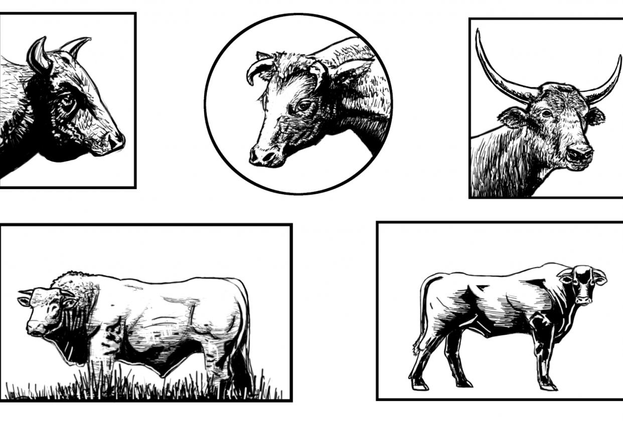 Brendon Sample Bulls - student project