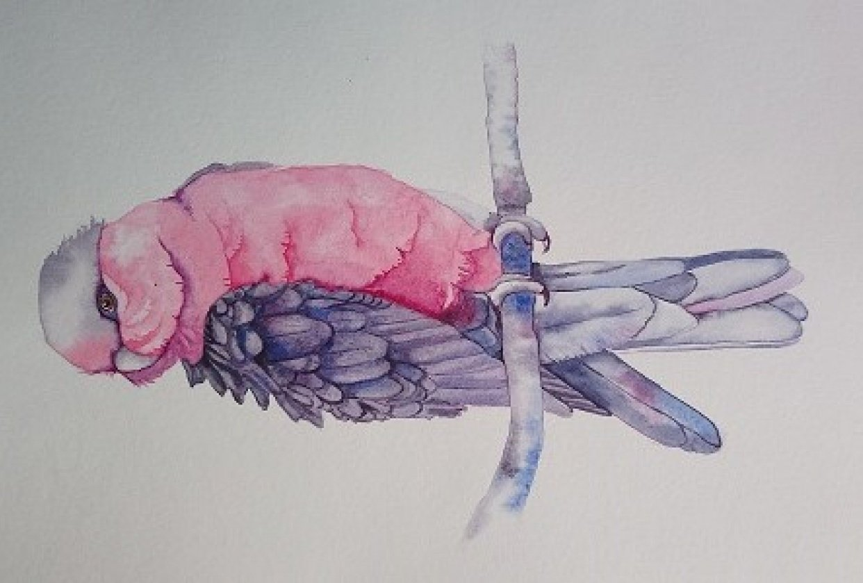 Master Watercolour Techniques: Learn to Paint a Galah in Watercolour - student project