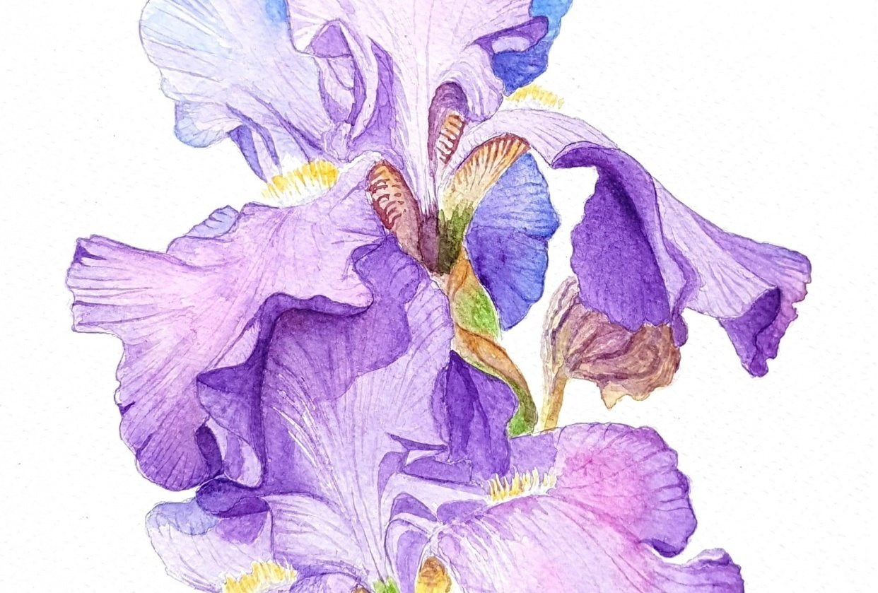 watercolor iris - student project