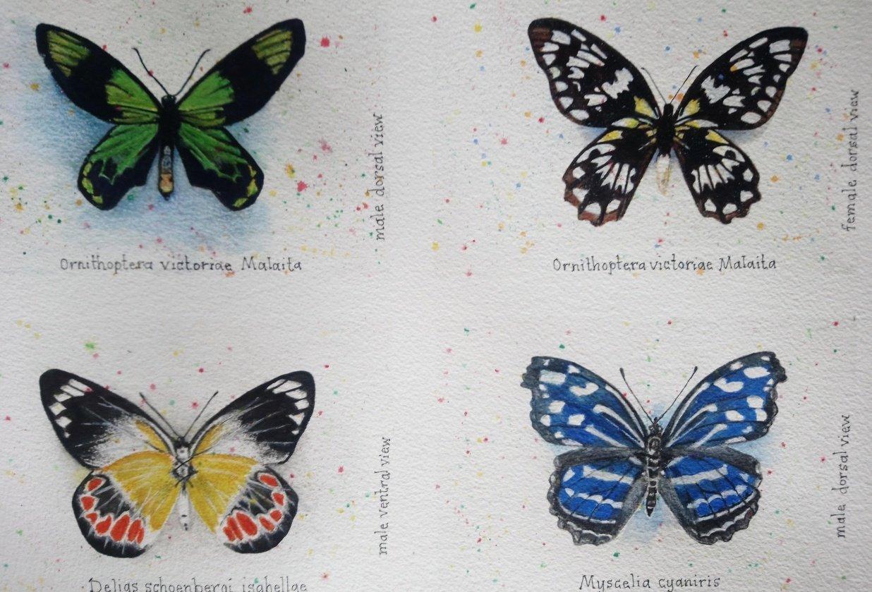 7 Butterflies of the Solomon Islands - student project