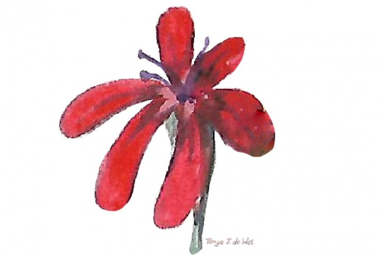Red catchfly botanical in gouache - student project