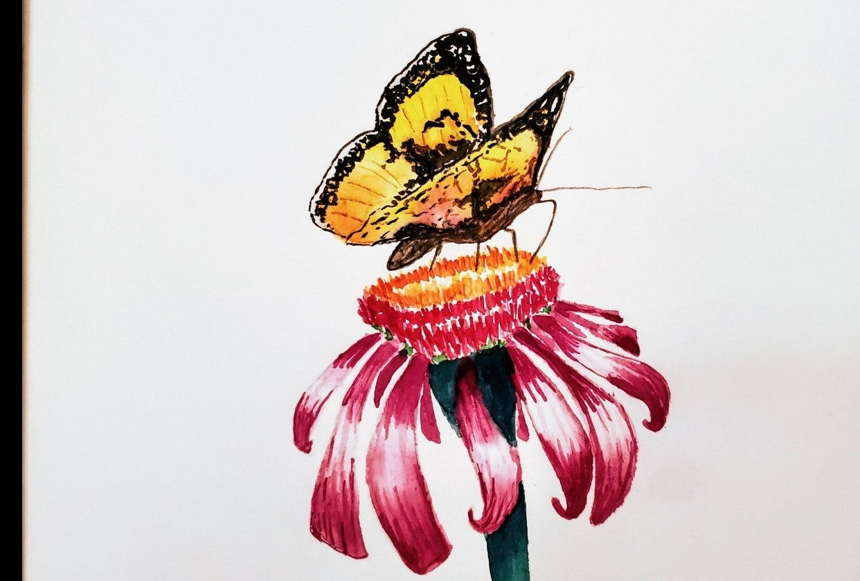 butterfly and echinacea - student project